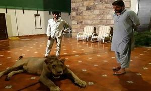 Shahid Afridi responds to the tied lion controversy